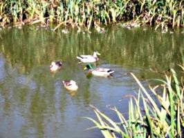 [picture: Ducks]