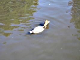 [picture: Swimming bird]