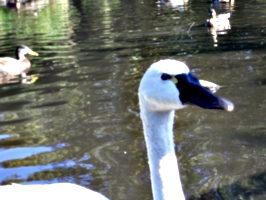 [picture: Swan's Head]