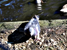 [picture: Pigeon]