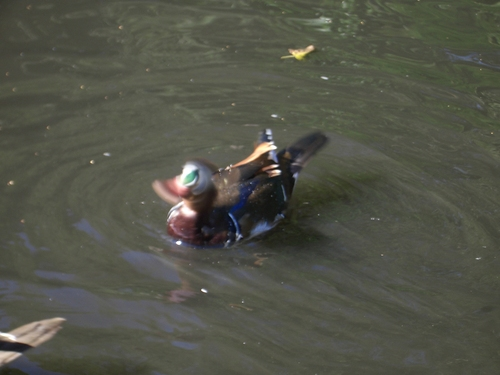 [Picture: Duck In Motion]
