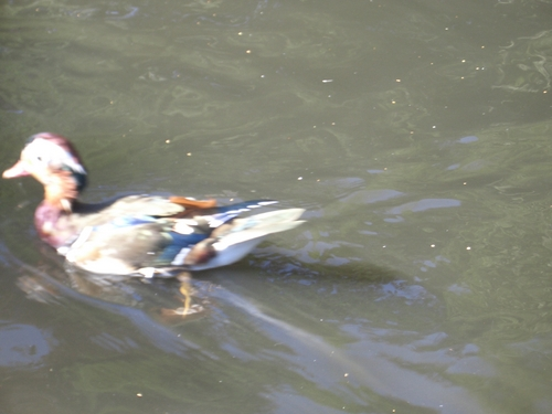 [Picture: Duck in Motion 2]