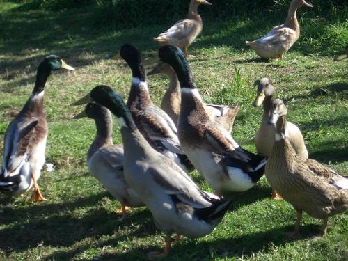 [Picture: Ducks.]