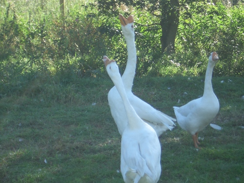 [Picture: Geese]