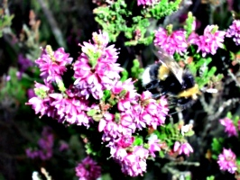 [picture: Purple-pink flowers with bumble bee]