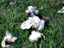 [picture: Discared wool on the grass]