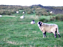 [picture: Sheep]