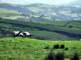 [picture: Panorama - Sheep-covered hills: 8]