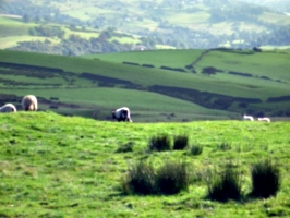[picture: Panorama - Sheep-covered hills: 9]