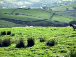 [picture: Panorama - Sheep-covered hills: 11]