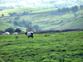 [picture: Panorama - Sheep-covered hills: 15]