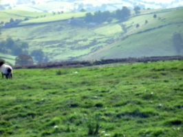 [picture: Panorama - Sheep-covered hills: 17]