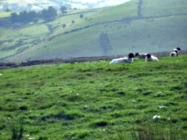 [picture: Panorama - Sheep-covered hills: 19]