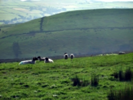 [picture: Panorama - Sheep-covered hills: 22]