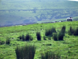 [picture: Panorama - Sheep-covered hills: 25]
