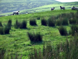 [picture: Panorama - Sheep-covered hills: 29]