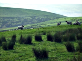 [picture: Panorama - Sheep-covered hills: 30]
