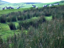 [picture: Panorama - Sheep-covered hills: 36]