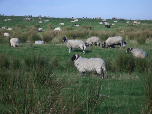 [Picture: Panorama - Sheep-covered hills: 1]