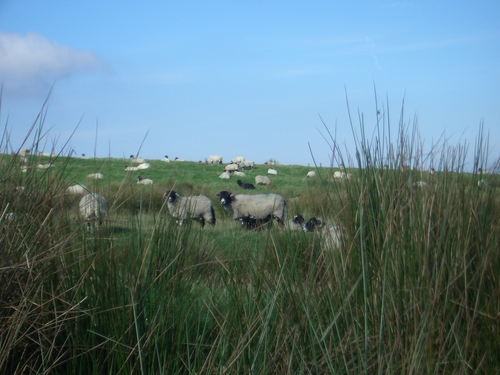 [Picture: Panorama - Sheep-covered hills: 2]