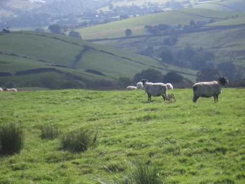 [Picture: Panorama - Sheep-covered hills: 13]