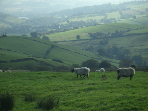 [Picture: Panorama - Sheep-covered hills: 14]