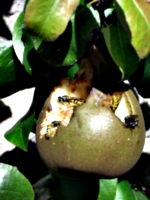 [picture: Waspy pear]
