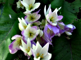 [picture: Purple-white flowers with yellow bits]