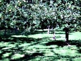 [picture: Apple Orchard]