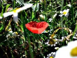 [picture: Poppy 2]