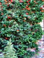 [picture: Bush with red berries]