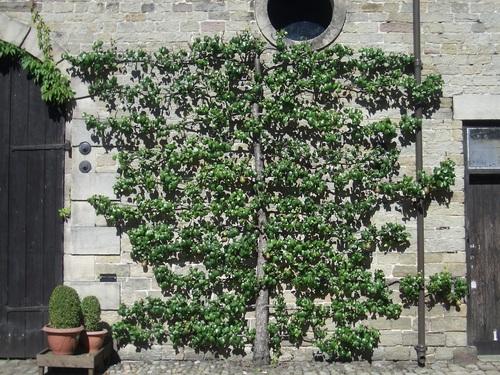 [Picture: Regimented fuit tree]