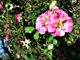 [picture: English Rose]
