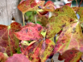 [picture: Autumn Leaves 1]