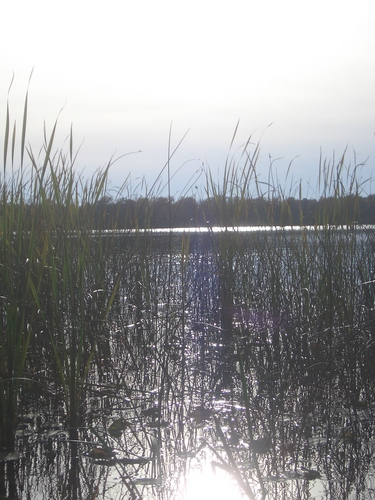 [Picture: Reeds]