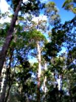[picture: Australian trees 2]