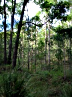 [picture: Australian trees 3]