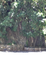 [picture: Old tree]