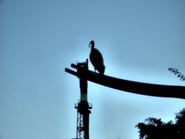 [picture: Big Australian bird]