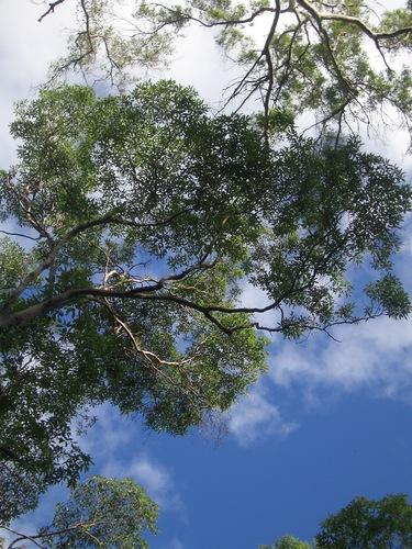 [Picture: Australian trees 1]