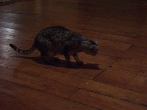 [Picture: Cosmos the cat hunts a moth]