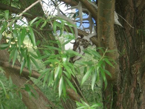 [Picture: Deer skulls in the willow tree 1]