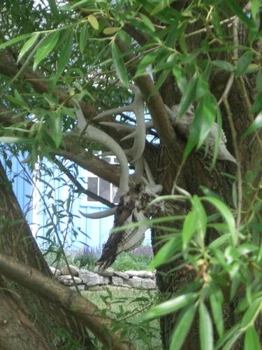 [Picture: Deer skulls in the willow tree 2]