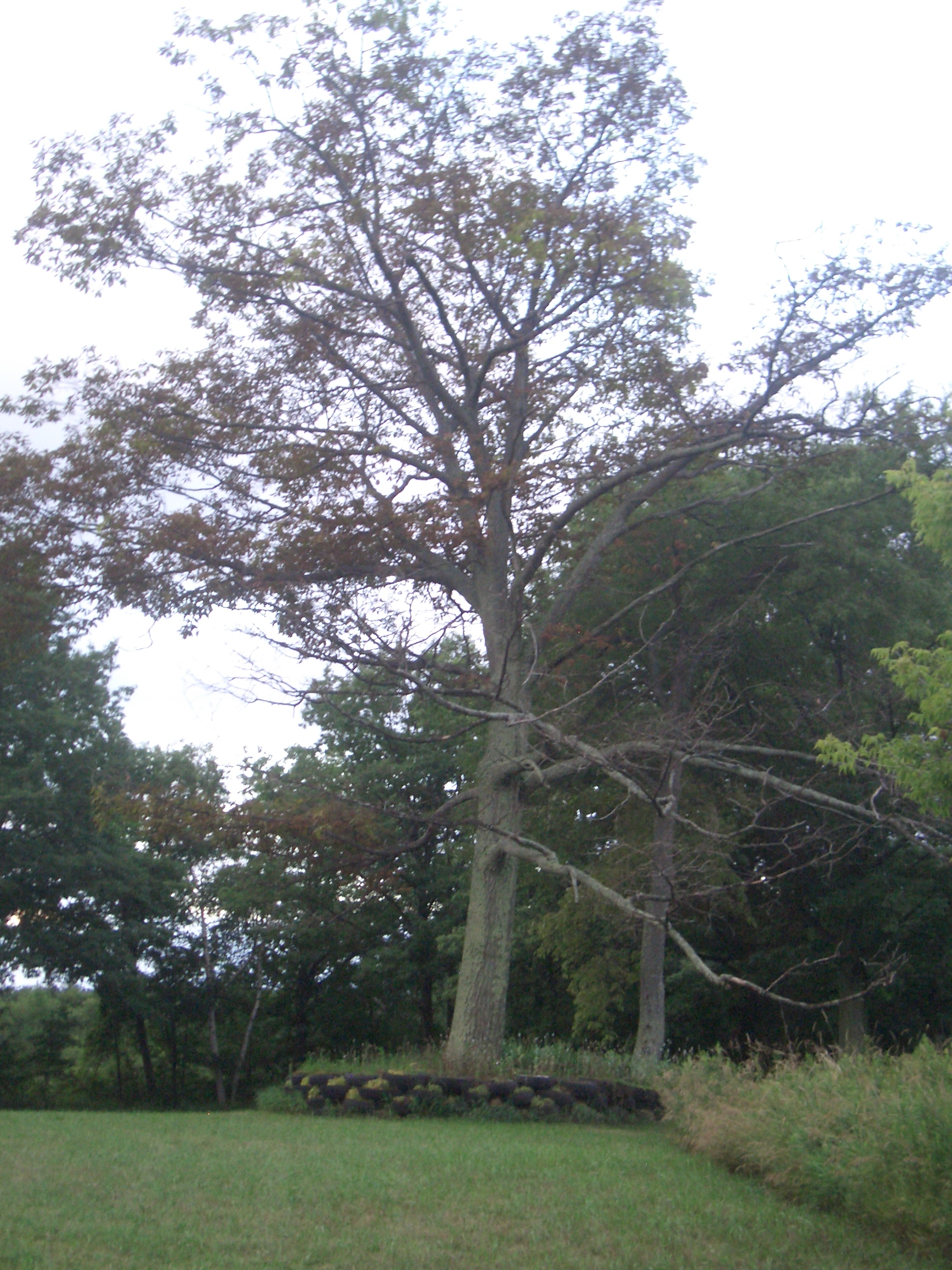 [Picture: Cherry Valley Tree]