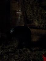 [Picture: Devil dog in the barn]