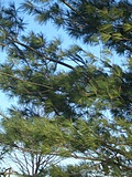 [Picture: Pine trees against the sky]
