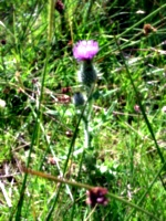 [picture: Scottish Thistle]