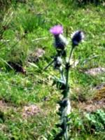 [picture: Scottish thistle 2]