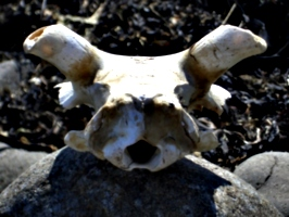 [picture: Sheep skull]