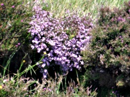 [picture: Pink heather]